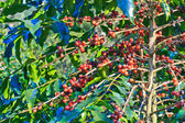 Coffee trees — Stock Photo