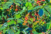 Coffee trees — Stock Photo