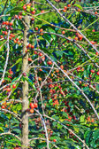 Coffee trees — Stockfoto