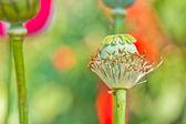 Opium poppy — Stock Photo