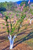 Peach trees — Stock Photo