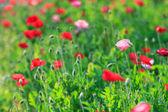Poppies — Stock Photo