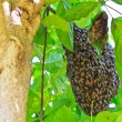 Stock Photo: Honeybee swarm