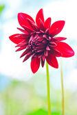 Rode dahlia — Stockfoto