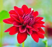 Red dahlia — Stock Photo