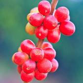 Coffee beans — Foto Stock