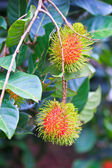 Fresh rambutan — Stock Photo