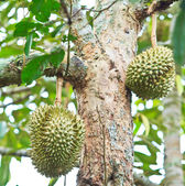 Durian Tropical fruits — Stock Photo
