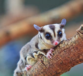 Sugar glider — Stock Photo