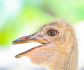 Ostrich head — Stock Photo