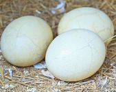 Ostrich eggs — Stock Photo