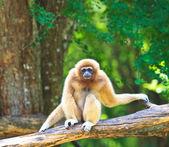 White Gibbon — Stok fotoğraf