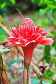 Etlingera vyšší květ — Stock fotografie