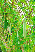 Angled gourd hanging on tree — Stock Photo