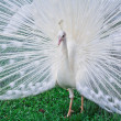 Stock Photo: White Peacock