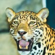 Stock Photo: Jaguar
