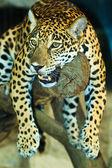 Jaguar — Stock Photo