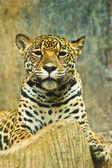 Jaguar — Fotografia Stock