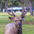 Stock Photo: Wild deer