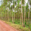 Stock Photo: Eucalyptus fields