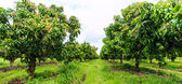 Mango orchards — Stock Photo