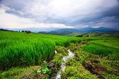Vista del atardecer arroz verde — Foto de Stock
