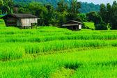 绿色的稻田日落美景 — 图库照片