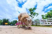 Koyun — Stok fotoğraf