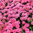 Pink chrysanthemums — Stock Photo #37298637