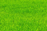 Rice plant on the field — Stock Photo