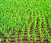 Planta de arroz no campo — Fotografia Stock