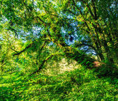 Big trees in primeval forest — Stock Photo
