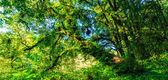 Grandes árboles en el bosque primitivo — Foto de Stock