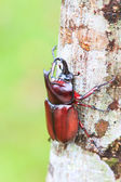 Rhinoceros Beetle on tree — Stock Photo