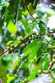 Fresh coffee beans — Stock Photo