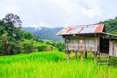 Green Terraced Rice Field — Foto Stock