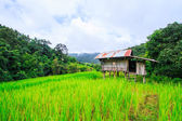 Green Terraced Rice Field — Stock Photo