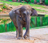 Elefante asiatico — Foto Stock