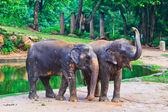 Asia elephant — Stock Photo