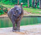 Asien elefant — Stockfoto