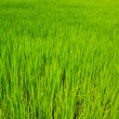 Green Rice Field — Foto Stock #37552465