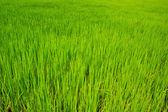Campo de arroz verde — Foto Stock