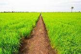 Groene rijst veld — Stockfoto