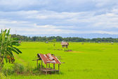 Rice field — Foto Stock