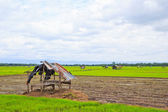 Rice field — Foto Stock