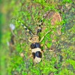 Stock Photo: Capricorn beetle (