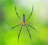 Spider in the wild asia — Stock Photo
