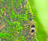 Capricorn beetle ( — Stock Photo