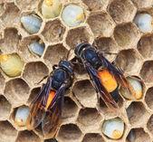 Wasp nests — Stok fotoğraf