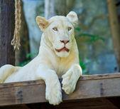 Bílý lev — Stock fotografie